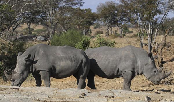 壁纸 大象 动物 犀牛 野生动物 600_353