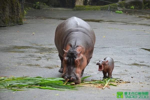 11月在台北市立动物园诞生的河马宝宝跟著妈妈.(图/取自