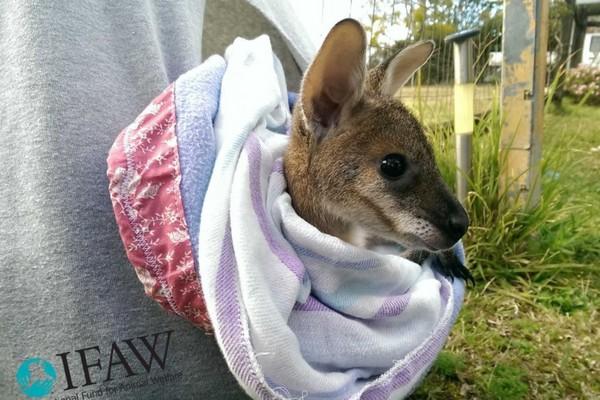 给无尾熊的爱心手套过剩! 动保团体为袋鼠募集保暖包
