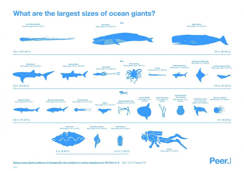 人類與各海洋生物實際大小比較圖。(圖/翻攝自「NESCent」) 國際中心/綜合報導 巨型海洋生物對於一般人而言充滿神秘感,總認為這些生物是又大又長!但「美國國家進化綜合中心」(NESCent)研究發現,有25種海洋生物的大小,包含鯨魚、鯊魚、烏賊等巨型海洋生物,並非如外界認為的如此巨大,若以巨型烏賊為例,外界認為此種生物長度可達18公尺,但實際數字卻為12公尺。 該中心副主任麥克林(Craig McClain)表示,「這是一份建立資料庫與歷史研究的工作,要仔細檢查標本博物館中的生物,及其他科學家與收藏