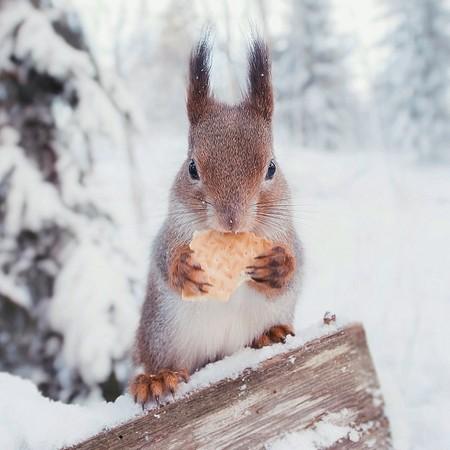 严寒冬季里,寒毛直竖的可爱松鼠,看到有食物送上门,当然也是先吃再说