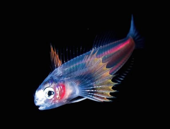 """这次为水下的发光生物拍摄了一组写真,系列作品名为 """"blackwater"""""""
