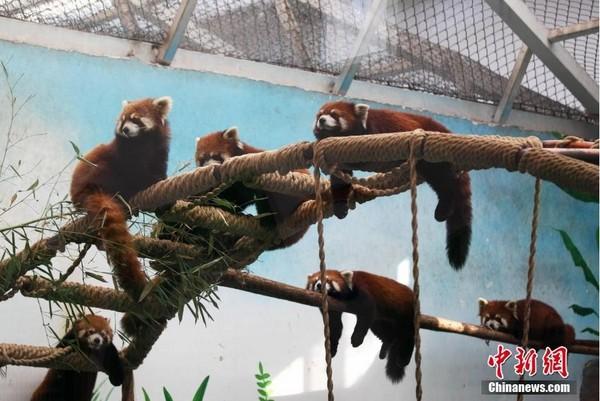 12只小熊猫分别是6公6母,刚从北京移居郑州市动物园,由於长相可爱