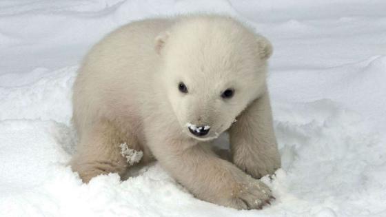 北极熊幼熊很可爱,但长大后具有强烈攻击性