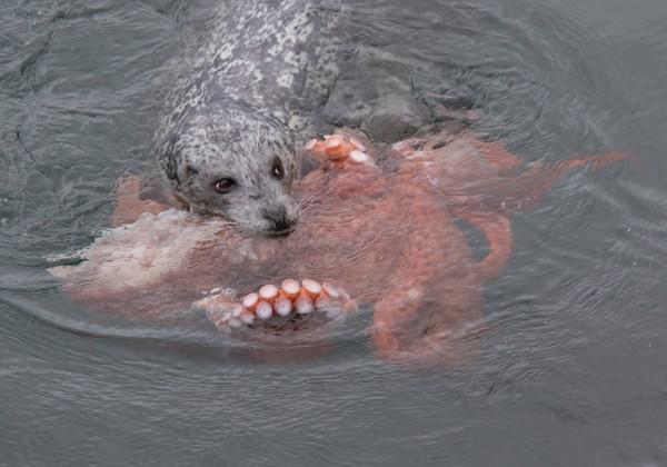 海豹终於战胜章鱼,还用嘴巴叼著章鱼的脚浮出水面,模样相当可爱.