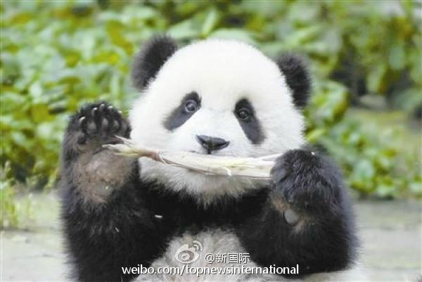 呆萌大熊猫也会咬人 专家:勿围观惊扰