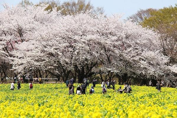 好看的风景图片樱花