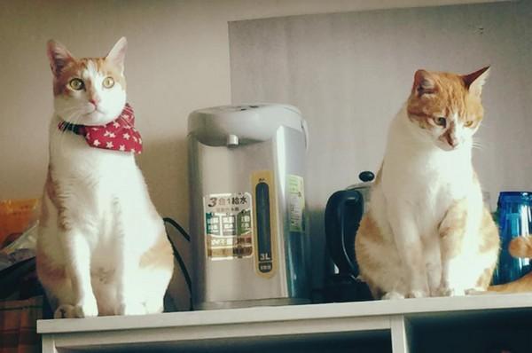 「男友喝醉了,在外頭撿了一隻跟家貓好像的浪貓回來...」(圖/湘沂提供) 記者林育綾/綜合報導 這就叫做「醉」美麗的錯誤?住在台中的湘沂日前在臉書分享照片表示「我男朋友喝醉了,在外頭撿了一隻跟我家貓好像的浪貓...」這兩隻橘白相間的貓,長得幾乎一模一樣,不只花色相似,也有同樣的「梨子身材」,只差在其中一隻還沒有戴上領巾。讓網友看了大笑回應「他以為你家的貓跑出去了?」「這是聽過喝醉的人做過最可愛的事了!」「讓妳男友多醉幾次吧!」「浪浪沒有領巾好落寞喔!」