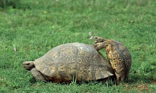 打斷烏龜交歡,主持人被公龜慢…慢追