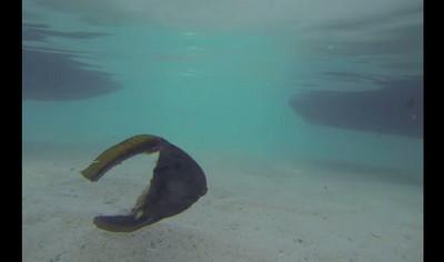 潛水客驚見ㄈ形魚,身體失蹤還能划水