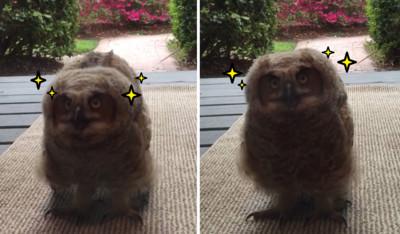 家門口出現小貓頭鷹,眨著大眼睛放電