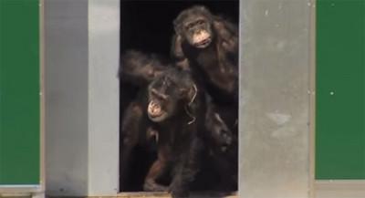 關實驗室30年,黑猩猩們終於見到陽光