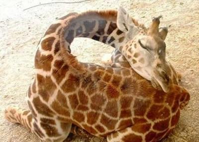 如何幫長頸鹿寶寶量體重?先把手張開