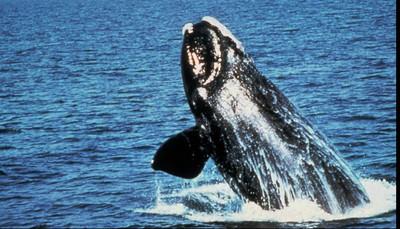 美西沿海驚見58隻死灰鯨 疑「食物不足」餓死