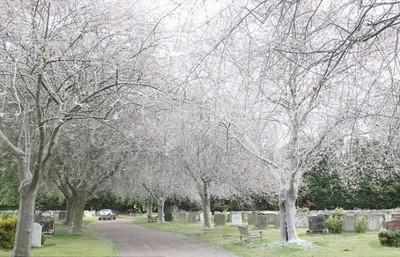 夢幻白櫻樹!呃..樹是不是蠕動了一下