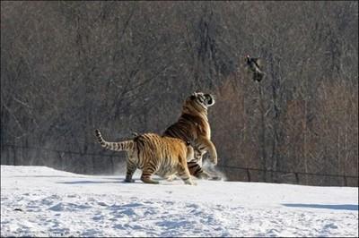 太久沒狩獵,圈養東北虎捉野雞大摔跤