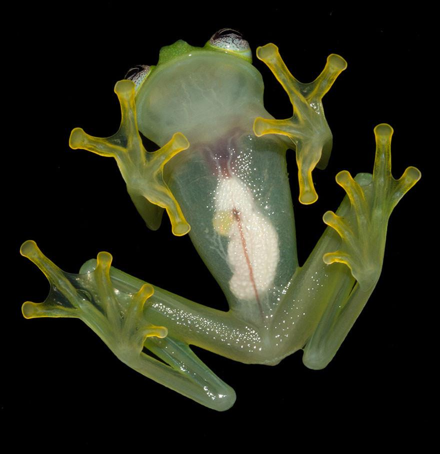 新品種玻璃蛙,真不是大檸檬小眼蛙嗎
