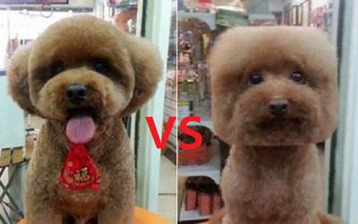 寵物剪毛遇難題「圓臉還是方臉好?」