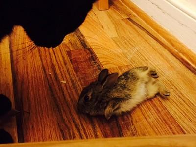 我家的貓太嘴饞,竟綁了隻兔崽子回來