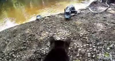 為守護家園,貓咪用小利爪對抗大鱷魚