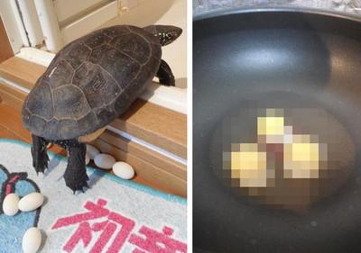 我家烏龜又下蛋,很多…只好煎來吃了