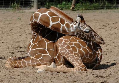 長頸鹿坐著彎脖子睡覺,把屁股當枕頭