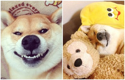 最像泰迪熊的柴犬Marron,賣萌第一名