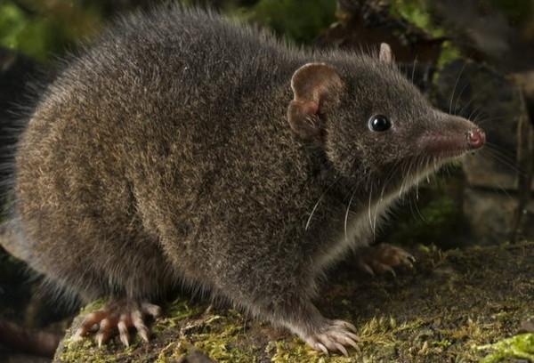 「塔斯曼半島暗袋鼩屬」,目前正面臨氣候變遷和棲息地喪失的嚴重威脅。(圖/翻攝自昆士蘭科技大學官網)