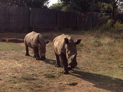 失去媽媽的小犀牛,在庇護所找回活下去的希望