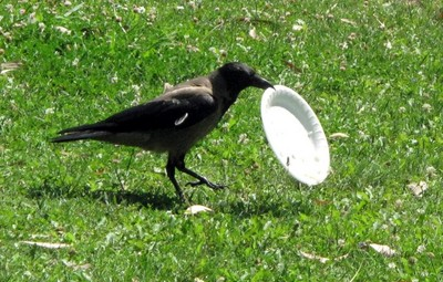 烏鴉嘴叼垃圾盤,牠要做的事讓我們都慚愧