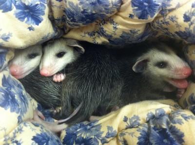 即時救出北美負鼠寶寶,避免二次悲劇發生