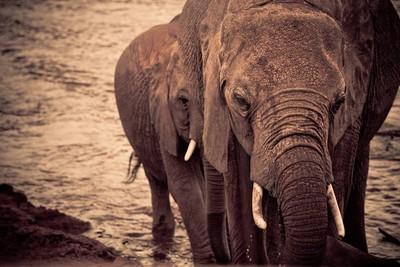 年拔6萬支象牙!非洲象「被進化」成夜行性動物