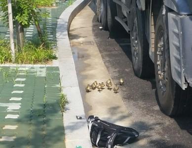 小鴨軍團出巡遇大卡車,路人緊急拿背包救援…
