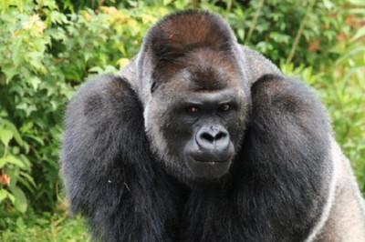 讓網友戀愛的男模大猩猩,又推出新寫真集啦