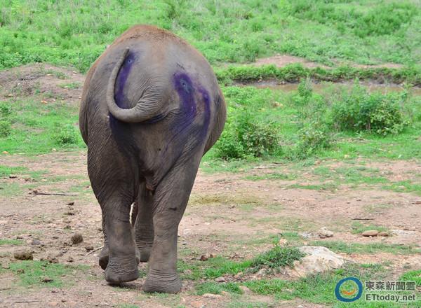 目睹泰國象背部「最心碎凹痕」 你的20分鐘毀掉牠一生
