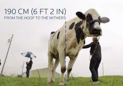 金氏紀錄保持牛身高190...這下要被牛小看了
