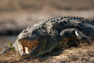 2.7公尺巨鱷 躺他家泳池休息