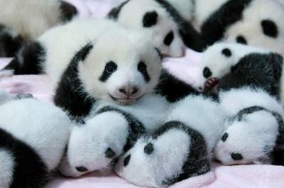 全世界最可愛托兒所 大熊貓們入園囉!