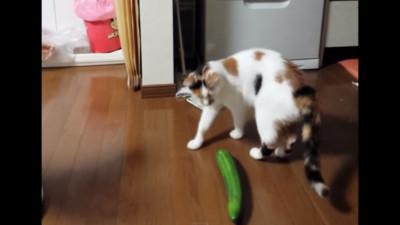 貓咪也是會被偷襲的!這次是…呃,小黃瓜