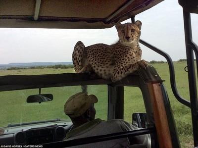 肯亞驚魂記!獵豹展現明星範跟你零距離合照