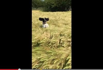 狗狗草叢狂跳 開心到耳朵飛起來