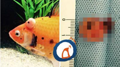 為愛魚取出腫瘤…怎麼像又多了一隻啊