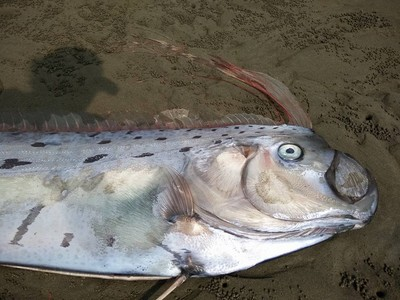 4.7公尺地震魚現日本 網傳:大災前兆