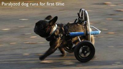 癱瘓狗第一次奔跑,畫面太美我不敢看