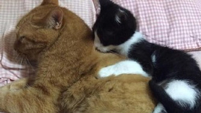 幼貓從背後撒嬌擁抱..橘貓嚇到像被鬼抓走