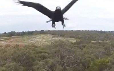 老鷹PK無人機,最後結果不意外
