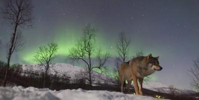 一生要圓一次的夢 在極光下和狼群親密接觸