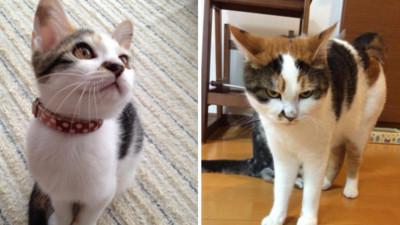 美人貓兩年成臭臉王,凶狠貌是吃定主人啦