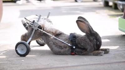 不能跳的兔子一樣可愛,主人為牠裝輪椅重拾活力!