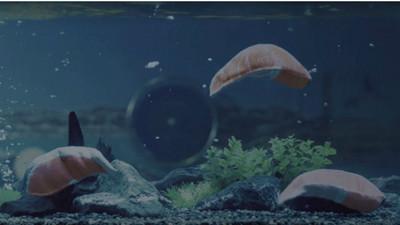 日本水族館驚見新物種,居然是...鮭魚片?